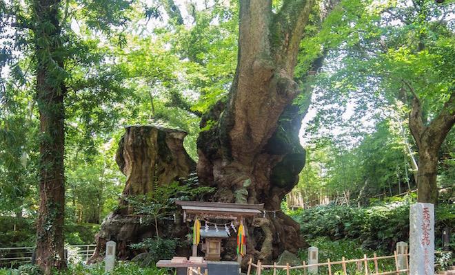 来宮神社にある樹齢2000年の大楠。1周回ると寿命が1年延びるらしい。